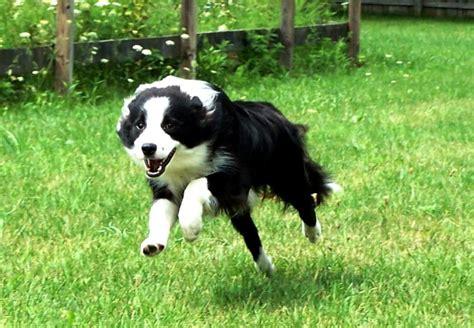 best dogs for running best breeds for running canadian running magazine