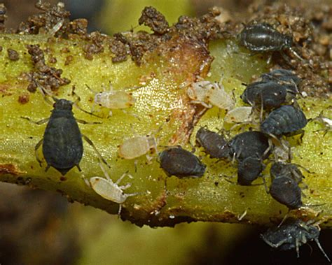 And East Found On Mixed Aphis Lambersi Carrot Root Aphid Identification Images Ecology