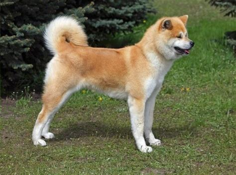what of is hachi what breed is hachiko in the hachi a s tale quora