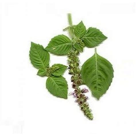 Promo 250 Ml Basil Hydrosol basil oleoresin suppliers buy and organic basil