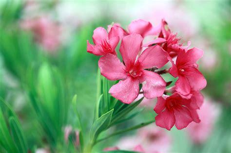 oleander plant oleander plant info how to care for oleander shrubs