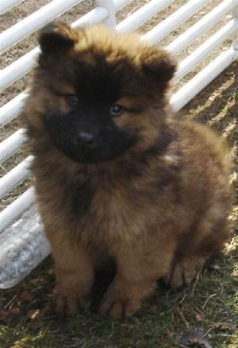 eurasier puppies for sale 63 best images about eurasier puppies on wolves chow chow and german spitz