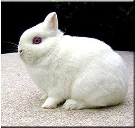 netherland rabbit colors 46 best images about rabbits on rabbit