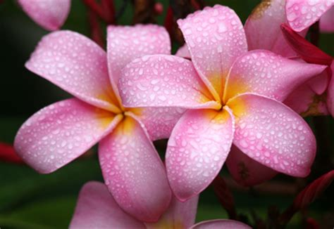 Funny Wallpapers Hd Wallpapers Hawaiian Flowers Hawaiian Flower Backgrounds