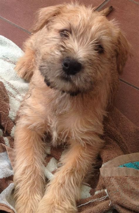 soft coated wheaten puppies soft coated wheaten terrier wheaten bridgend bridgend pets4homes