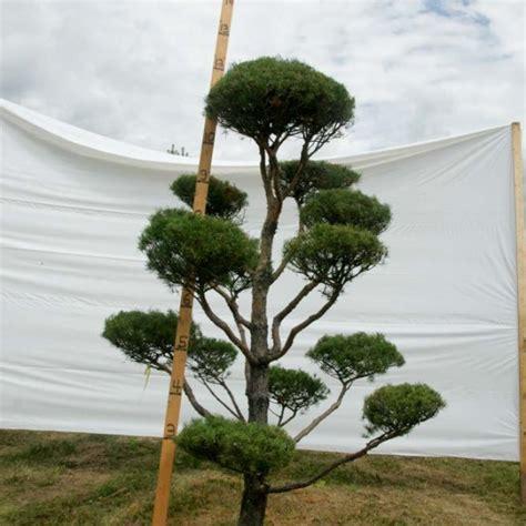 scotch pine topiary 187 scotch pine topiary tree 89 plants beautiful nursery