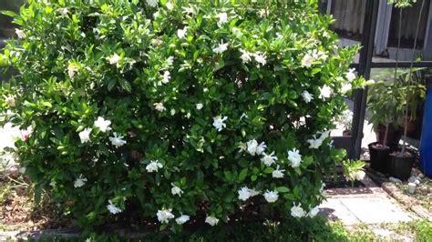 gardenia bush sweet smelling flowers youtube