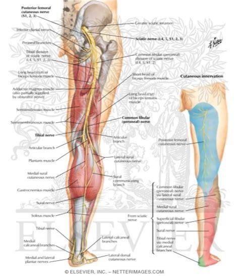 sciatic nerve location diagram faq dr borah s chiroblog