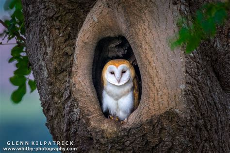 Small Barn Houses by A Single Baby Barn Owl All But Ready To Fly The Nest