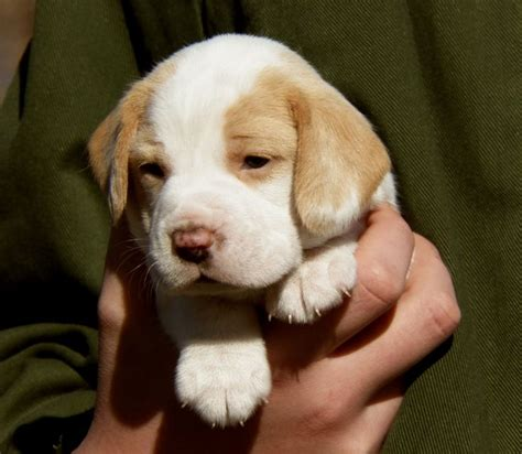 lemon beagle puppies i want a lemon spotted beagle so bad sometime the road