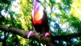 album susi minang gamang diseso mimpi now toucan song in the garden save lagu