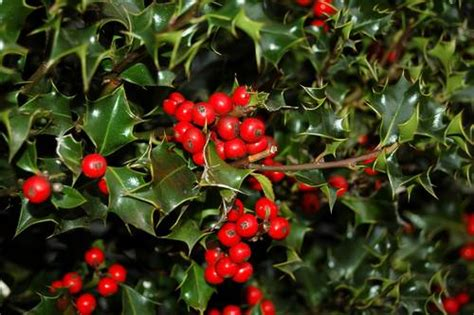 what deciduous tree has berries in winter 10 berries that birds mnn nature network