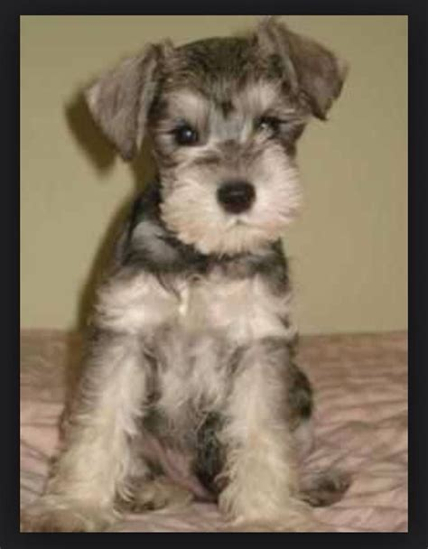 mini schnauzer doodle 1000 images about dogs on schnauzers