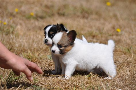 what to feed 4 week puppies road s end papillons 4 weeks papillon puppies