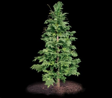 Large Outdoor Planters For Trees by Outdoor Artificial Cedar Tree 6 Commercial Silk Int L