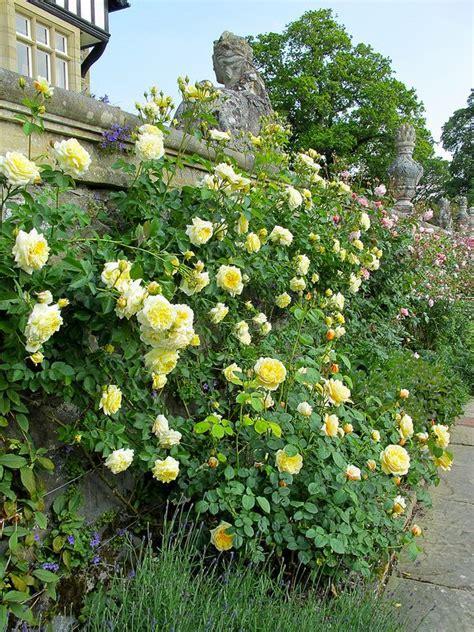 tips on planting quot climbing roses quot on a rose trellis my the pilgrim at bodnant gardens landschaftsbau rose