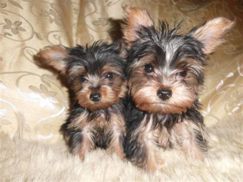 mini yorkies for sale in oklahoma 17 best images about omg so animals on yorkie terrier