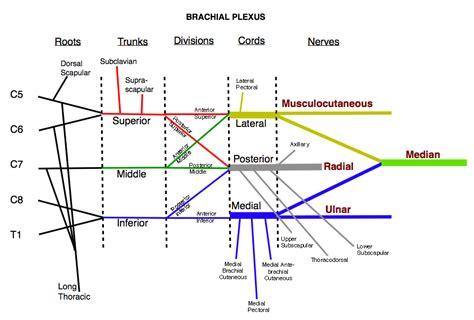 brachial plexus diagram brachial plexus my many hats