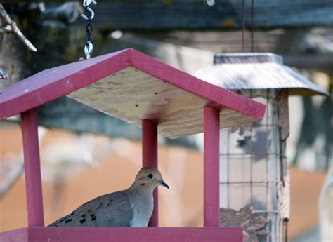 best 28 mourning dove bird feeder mourning dove at