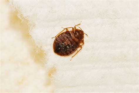 are bed bugs harmful are bed bugs dangerous terminix