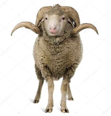 new year animal ram arles merino sheep ram 1 year sitting in front of