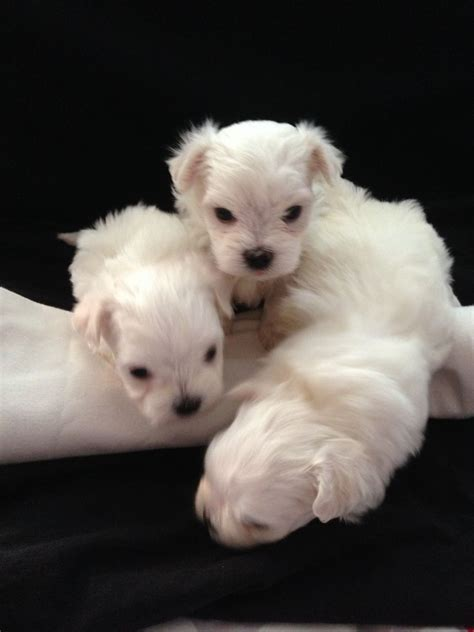 maltese puppies for sale maltese puppies for sale wallington surrey pets4homes
