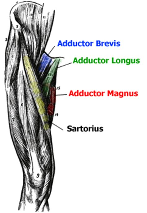 pulled groin diagram atonomy charts