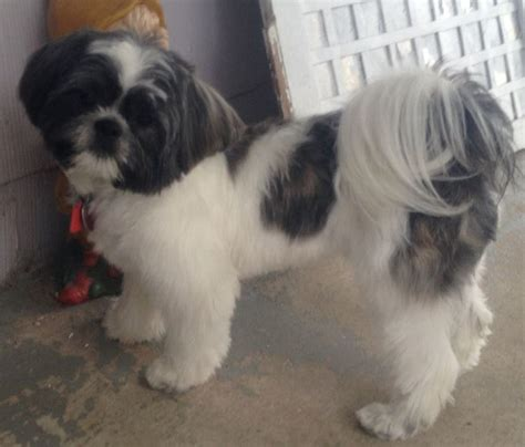 how to take care of baby shih tzu my baby shih tzu chewy