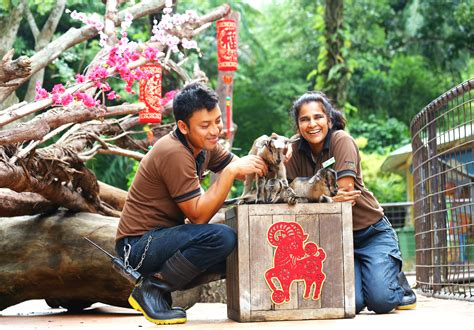 singapore zoo new year 2015 rub some goat luck at singapore zoo and safari
