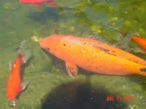 Fish / Pond Gold Fish Disease