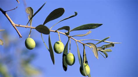 what do trees represent what does the olive tree symbolize reference com