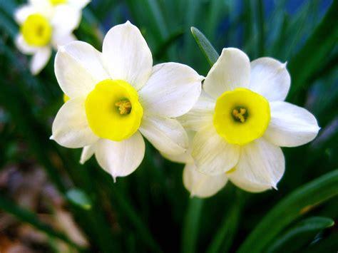 fiori narciso fiori narciso fiori di piante