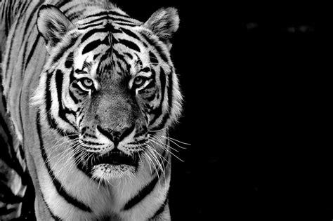 imagenes graciosas 4k black and white tiger 磴hnliches foto pretty tigers
