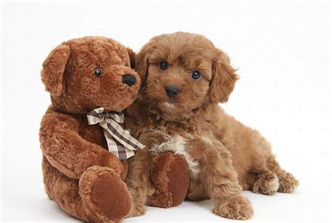 cavapoochon puppies american eskimo and puppies pictures breeds and puppies breeds picture