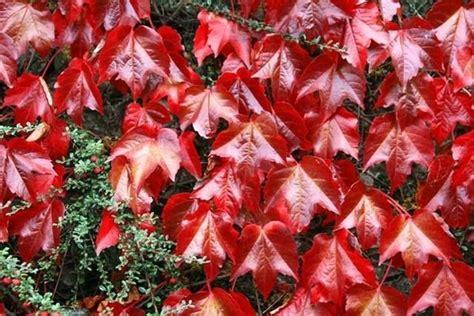 decorare odmiana parthenocissus tricuspidata ricanti caratteristiche