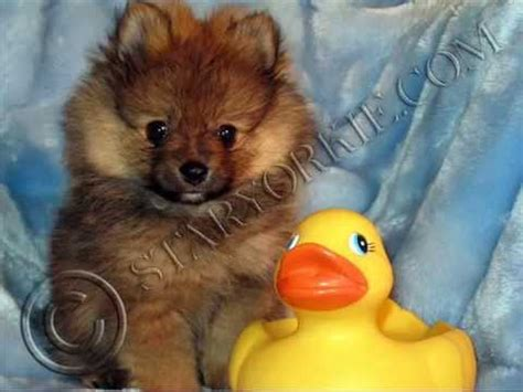 pomeranian yorkie puppies for sale tiny teacup yorkie maltese pomeranian puppies for sale