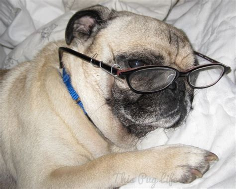 pug in glasses pug dresses up this pug