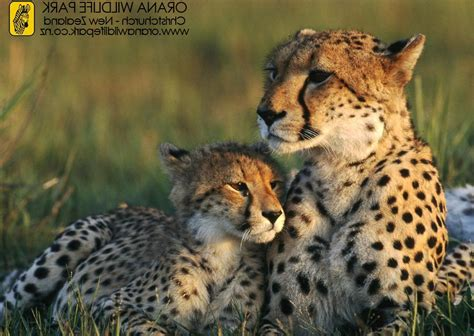 Natgeo Lis list of national geographic cheetah pictures on