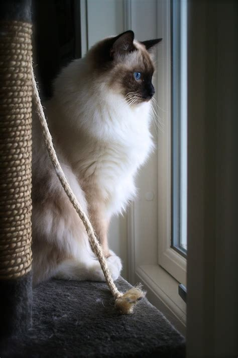 ragdoll cat lifespan expectancy in ragdoll cats many