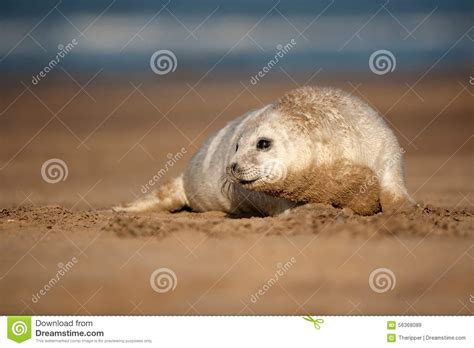 Nook Gift Card Uk - seal puppy stock photo image 56368089