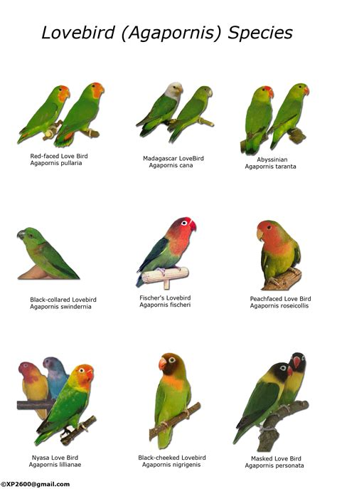 types of lovebirds chart birds pinterest bird