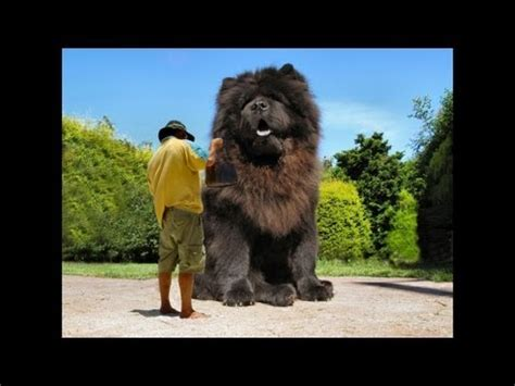 The biggest dog in the world ever! 2014   YouTube