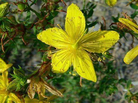 iperico fiore condividi la foto fiore d iperico dall album busasca
