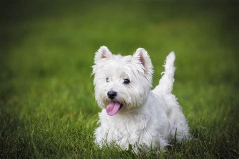 west highland puppies west highland white terrier abc finkero