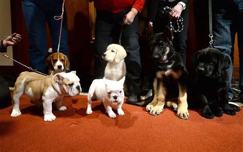 akc ranking american kennel club rankings labrador retrievers german shepherds golden
