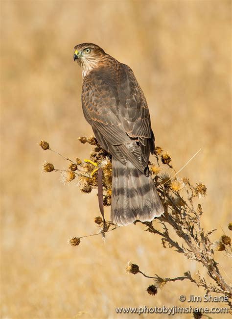 sharp shinned hawk accipiter striatus in explore raptors