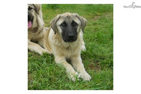 anatolian shepherd puppies for sale anatolian shepherd puppy for sale near springfield missouri 1851cd95 8941