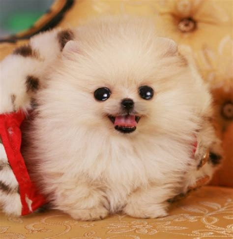 pictures of micro teacup pomeranians micro teacup pomeranian for adoption
