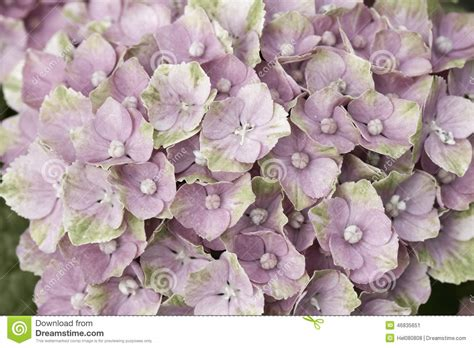 Bright Colored L Shades by Bright Hortensia Stock Image Image Of Plant Shade