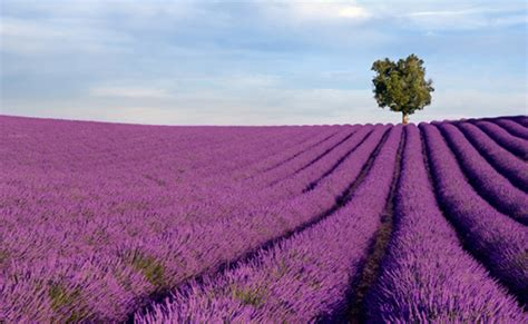 Good Young Dong Garden #1: Lavender_fields_provence_france.jpg